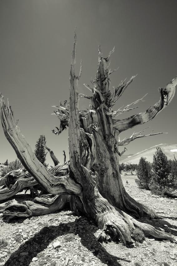 Skeleton Tree- Patriarch Grove