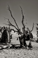 Ancient Trees-Patriarch Grove
